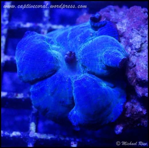 mushroom_coral2014-12-27 04.16.36-1