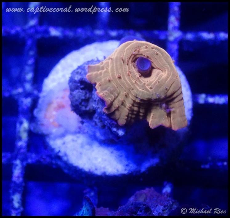 mushroom_coral2014-12-27 04.16.42-1