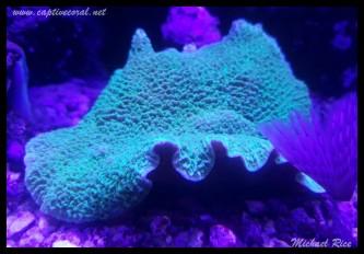 mushroom_coral2015-12-09 03.52.07