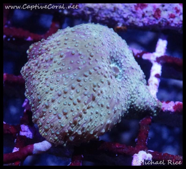 mushroom_coral2016-07-07-05-13-01-1