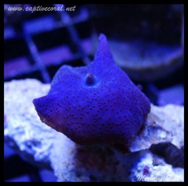mushroom_coral_DSC0361