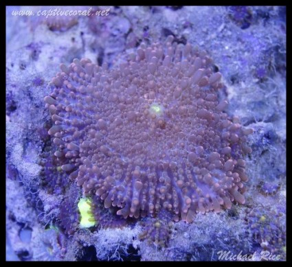 mushroom_coral_DSC0374