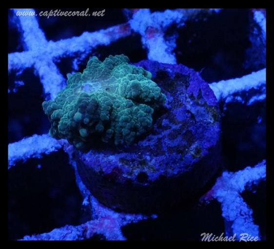 mushroom_coral_DSC0981