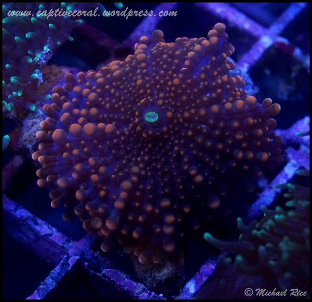 mushroom_coral_DSC8009