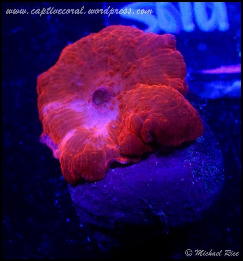 mushroom_coral_DSC8843