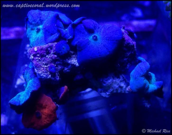 mushroom_coral_DSC8862