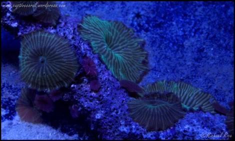 mushroom_coral_DSC9010