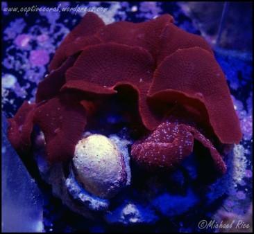 mushroom_coral_DSC9295
