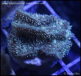 pavona_cactus_coral2014-12-13 01.20.04-1