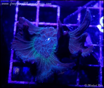 pectinia2015-01-10 06.07.42-1