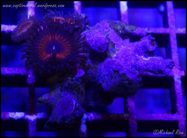 zoanthids2014-12-27 04.12.16