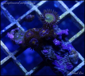 zoanthids2014-12-27 04.13.17-1