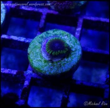 zoanthids2015-01-10 06.13.22-1
