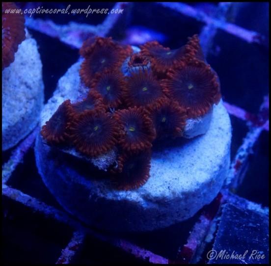 zoanthids_DSC8015