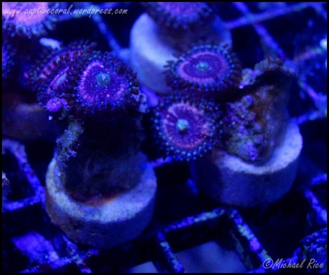 zoanthids_DSC8669