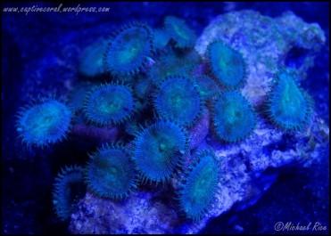 zoanthids_DSC8759