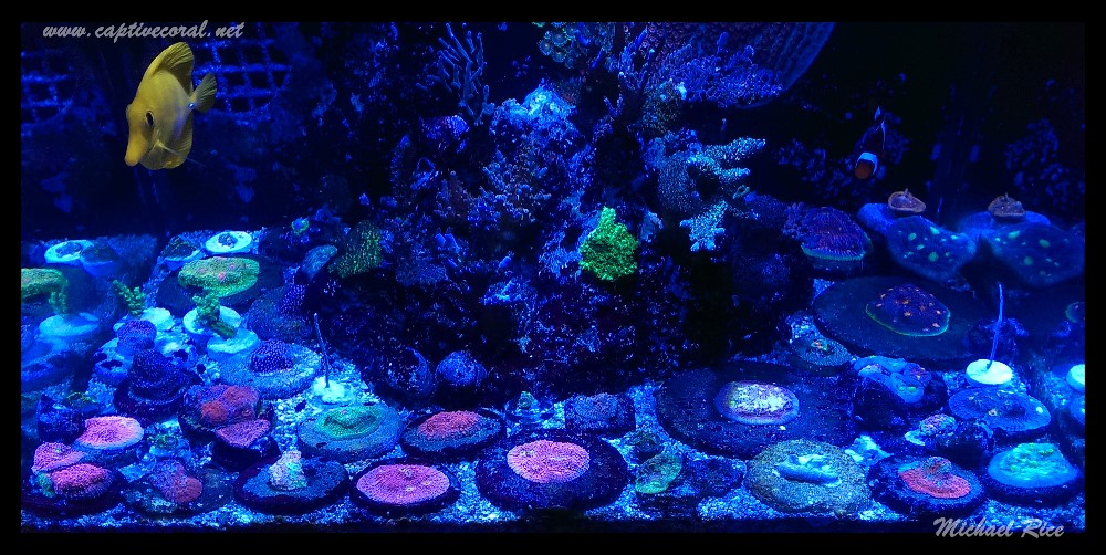 chalice_LPS_nano_reef2014-10-13 13.35.00