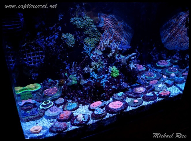 chalice_LPS_nano_reef2014-12-02 00.49.45