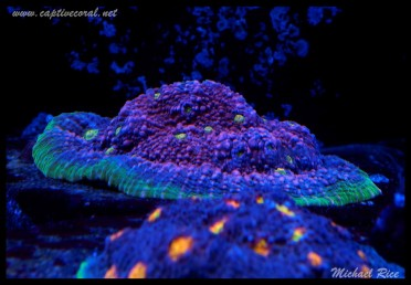 chalice_LPS_nano_reef2014-12-08 02.01.17