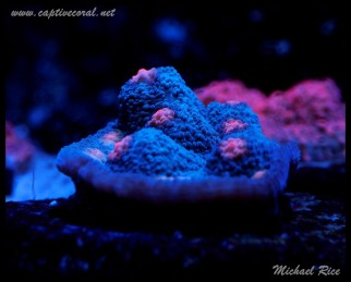 chalice_LPS_nano_reef2014-12-08 02.05.53