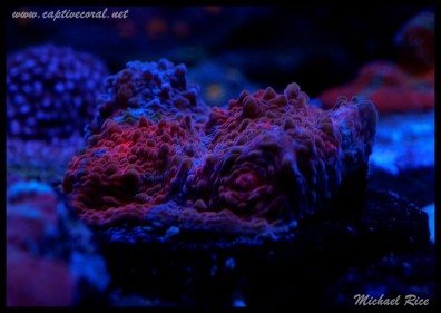 chalice_LPS_nano_reef2014-12-08 02.06.43