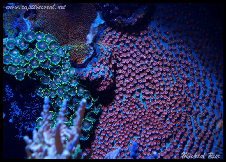 chalice_LPS_nano_reef2014-12-08 02.14.09