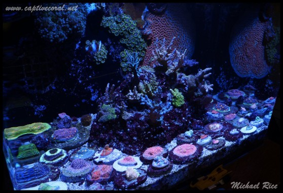 chalice_LPS_nano_reef2014-12-08 02.15.45
