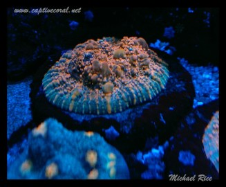 chalice_LPS_nano_reef2014-12-19 23.57.29-1