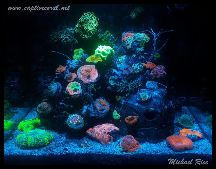 chalice_LPS_nano_reef2015-12-21 03.52.14