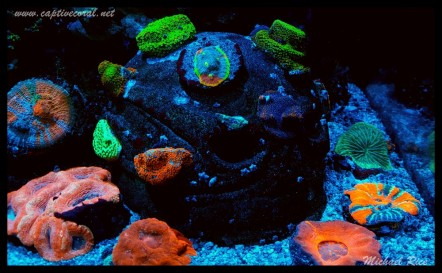 chalice_LPS_nano_reef2016-01-04 05.18.07